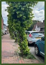 Image of Lime Trees on Burwash High Street